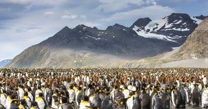 Królewiątko penguing kolonia w Południowym Gruzja obraz royalty free