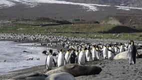 Królewiątko pingwinów kolonia zbiory