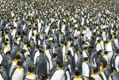 Królewiątko pingwinów kolonia przy Południowym Gruzja Zdjęcia Royalty Free