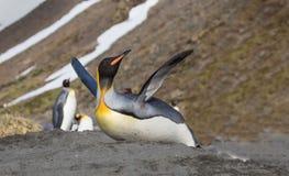 Królewiątko pingwin ślizga się puszek na żołądku Obraz Royalty Free
