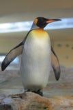 królewiątko pingwin Zdjęcia Stock