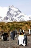 królewiątko pingwin Obraz Royalty Free