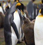 Królewiątko pingwinu żywieniowy kurczątko - Falkland wyspy Obraz Stock
