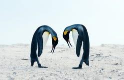 Królewiątko pingwinu koperczaki zachowanie podczas kotelnia sezonu obraz stock
