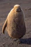 Królewiątko pingwinu pisklęcy odprowadzenie (Aptenodytes patagonicus) Zdjęcia Royalty Free