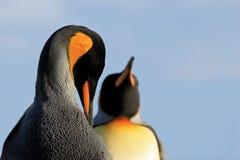 Królewiątko pingwiny, aptenodytes patagonicus, Saunders, Falkland wyspy obraz stock