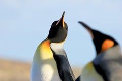 Królewiątko pingwiny, aptenodytes patagonicus, Saunders, Falkland wyspy zdjęcie royalty free