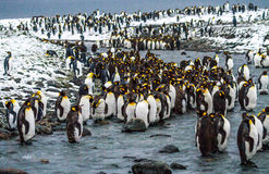 Królewiątko pingwiny na Antarktycznym półwysepie Zdjęcia Royalty Free