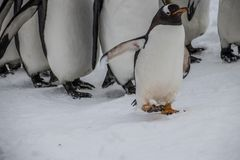 Królewiątko pingwiny na paradzie zdjęcia royalty free