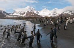 Królewiątko pingwiny na plaży, St Andrews zatoka, Południowy Gruzja fotografia royalty free