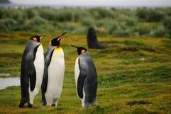 Królewiątko pingwiny na Salisbury równinach fotografia royalty free