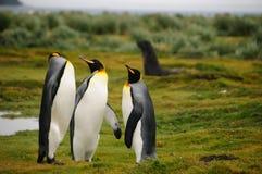 Królewiątko pingwiny na Salisbury równinach obrazy royalty free