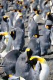Królewiątko pingwiny na Salisbury równinach zdjęcia stock