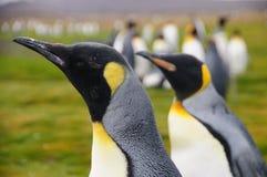 Królewiątko pingwiny na Salisbury równinach fotografia stock