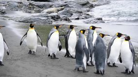 Królewiątko pingwiny przy Południowym Gruzja zbiory