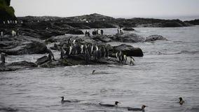 Królewiątko pingwiny przy Południowym Gruzja zbiory wideo