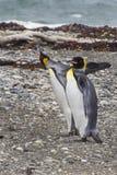 Królewiątko pingwiny wśrodku Tierra Del Fuego Lądujący, Chile obraz royalty free