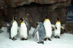 Królewiątko pingwiny w niewoli Fotografia Stock