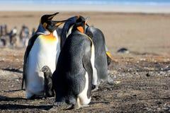 Królewiątko pingwiny z kurczątkiem, aptenodytes patagonicus, Saunders, Falkland wyspy obraz stock