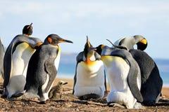 Królewiątko pingwiny z kurczątkiem, aptenodytes patagonicus, Saunders, Falkland wyspy zdjęcie royalty free
