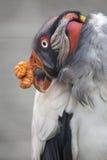 Królewiątko sęp Fotografia Stock