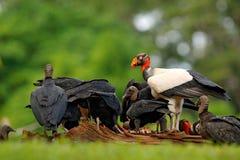 Królewiątko sęp, Costa Rica, wielki ptak zakłada w Ameryka Południowa Latający ptak, las w tle Przyrody scena od zwrotnika nat Zdjęcia Stock