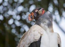Królewiątko sęp (Sarcoramphus tata) zdjęcie royalty free