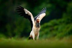 Królewiątko sęp, Sarcoramphus tata, wielki ptak zakłada w Środkowym i Ameryka Południowa Latający ptak, las w tle Przyrody sc Zdjęcie Stock