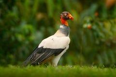 Królewiątko sęp, Sarcoramphus tata, wielki ptak zakłada w Środkowym i Ameryka Południowa Latający ptak, las w tle Przyrody sc Obrazy Stock