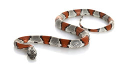 królewiątko skrzyknący popielaty wąż obraz stock