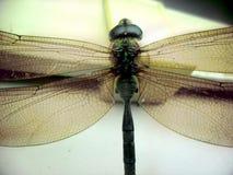 Królewiątka dragonfly Obrazy Royalty Free