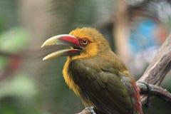 Królewiątka Fisher Ptak Fotografia Stock