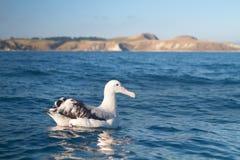 Królewiątko albatros Zdjęcie Stock