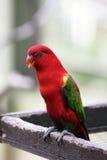królewiątko australijska papuga Obraz Stock
