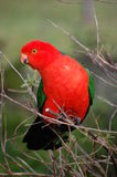 królewiątko australijska papuga Obraz Royalty Free