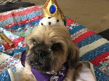 Królewiątko Chester Obrazy Royalty Free