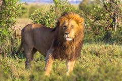 Królewiątko dzika natura Afryka Wielki lew od Masai Mara, Kenja Obraz Royalty Free