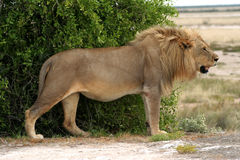 królewiątko lew Zdjęcia Stock