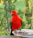 Królewiątko papuga w Drouin Wiktoria Australia Fotografia Stock
