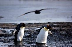 królewiątko pingwin Obrazy Royalty Free