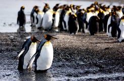 królewiątko pingwin Fotografia Royalty Free