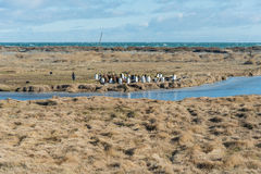 Królewiątko pingwinu kolonia w Tierra Del Fuego, Chile Zdjęcie Stock