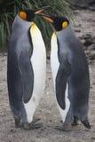 Królewiątko pingwiny Zdjęcia Royalty Free