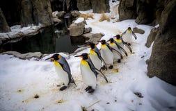 Królewiątko pingwiny Obraz Royalty Free