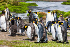 Królewiątko pingwiny podczas molting Fotografia Stock