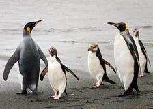 królewscy królewiątko plażowi pingwiny Zdjęcie Royalty Free
