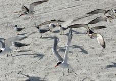 Królewscy Terns lądują na piaskowatej plaży w Jacksonville Floryda obrazy royalty free