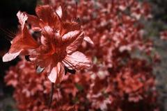 Królewska azalia wibrująca z czerwonym kolorem z inną azalią w tle Obraz Royalty Free