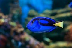 Królewska blaszecznicy ryba Obraz Royalty Free