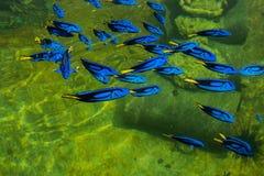 Królewska Pacyficzna błękitna blaszecznica Obraz Royalty Free
